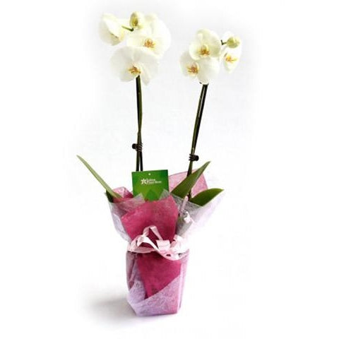 Phalaenopsis Orchid - Plant Store