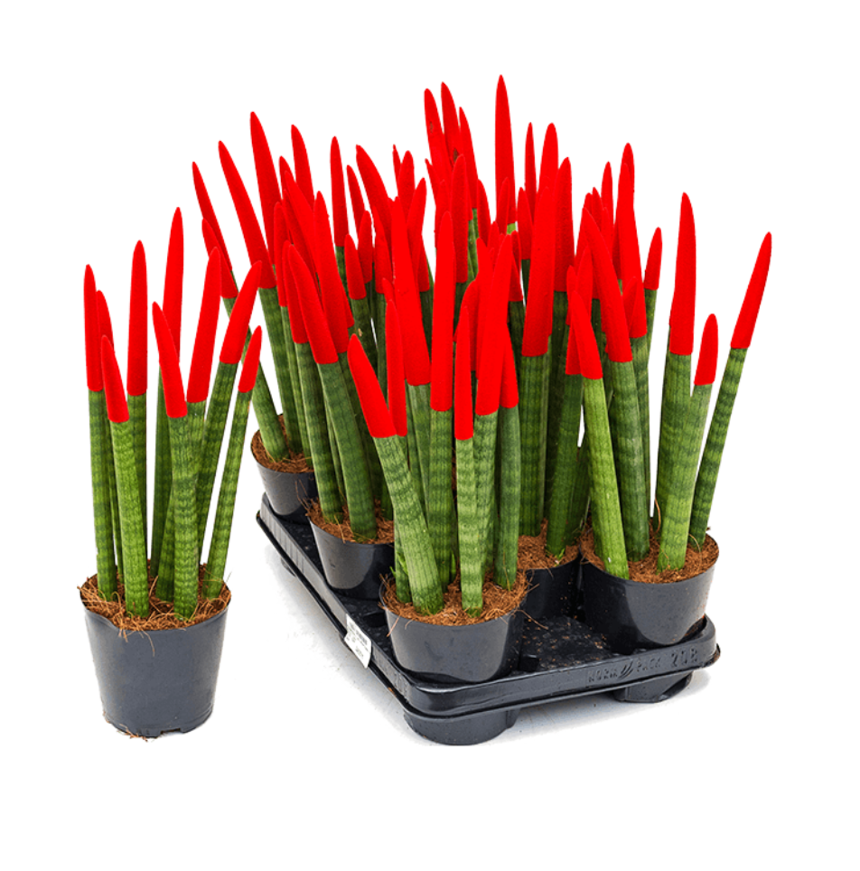 Limited Edition: Festive Sansevieria Cylindrica/ Poker Succulent