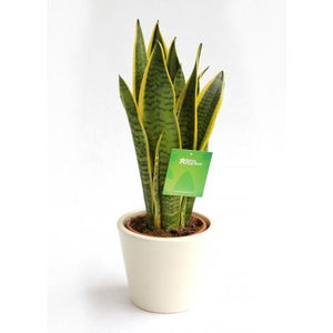 Sansevieria trifasciata - Mother-in-Law's Tongue