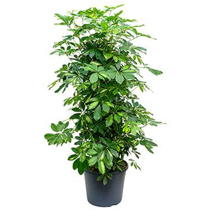 Schefflera gold capella - Umbrella Tree - Large