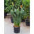 Large Strelitzia reginae - Bird of Paradise