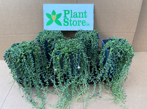 Senecio herreianus (String of Tears/ String of Pearls) - Sold Seperately