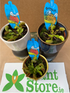 Dianaea muscipula (Venus Fly Trap) - Sold Seperately