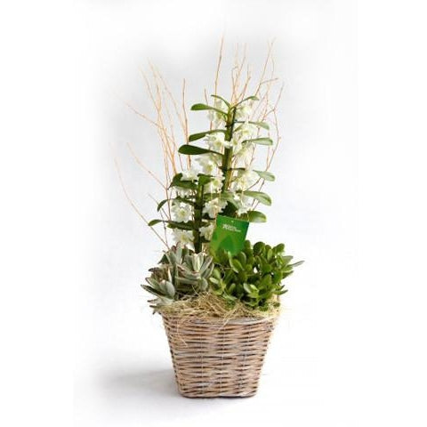 White Dendrobium Orchid Basket - Limited offer (Nationwide delivery - 8 Euro)