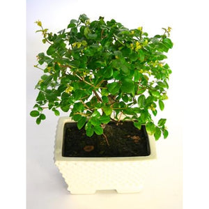 Bonsai tree - Plant Store