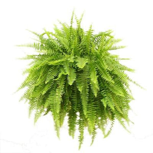 Boston Fern - Plant Store
