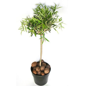 Olive Tree - Plant Store