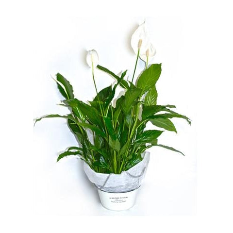 Peace Lily - Large - Plant Store