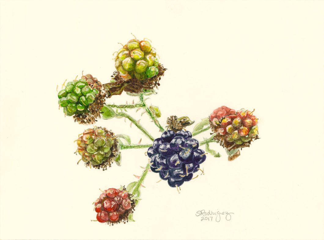 Blackberries Print,