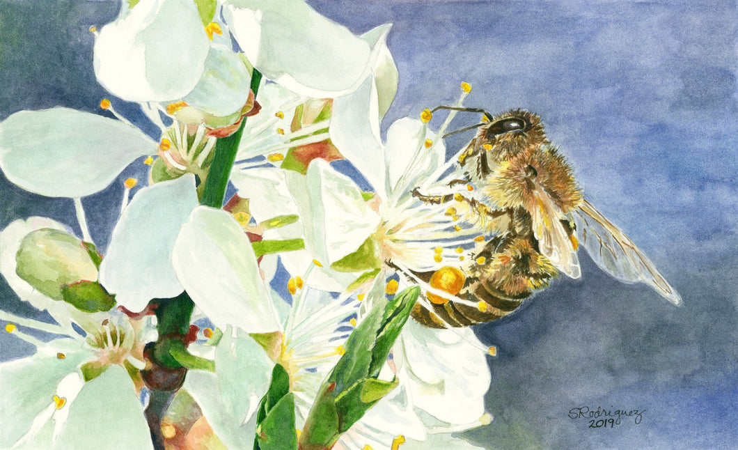 Honeybee on White Cherry Blossom Print,