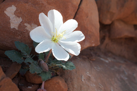 wildflowers in canyonlands national park