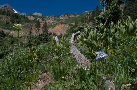 Highline Loop La Plata Mountains Columbine flowers
