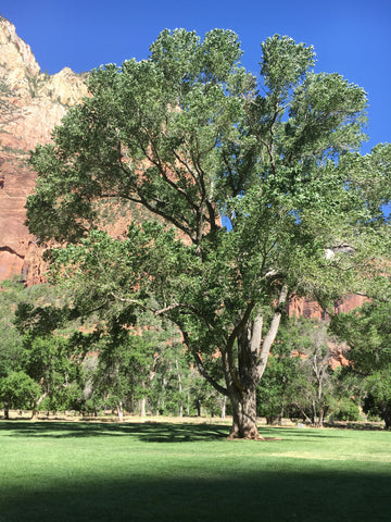 Freemont Cottonwood in Zion National Park