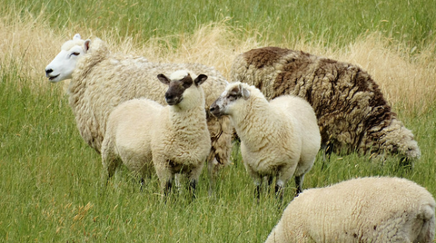 Sheep produce wool which is a sustainable and renewable product.