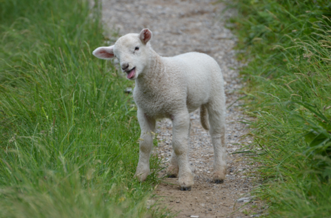 Facts about sheep, lamb is a baby sheep