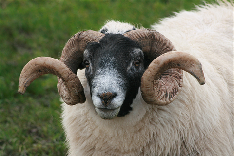 Male sheep is a ram, things you didn't know about sheep
