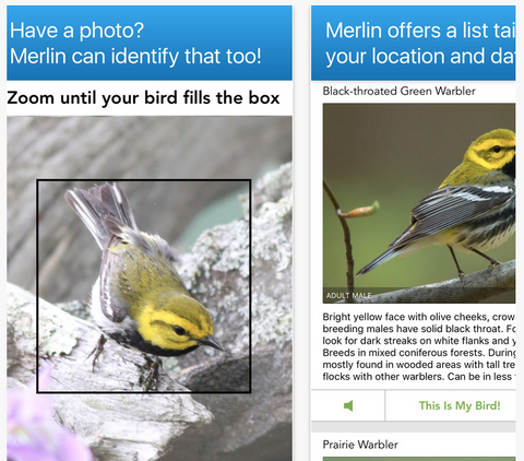Merlin Bird ID by Cornell Lab of Ornithology for identifying birds app