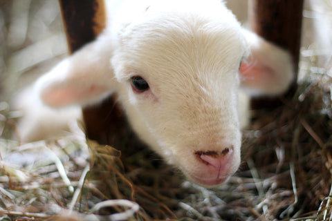 baby sheep lamb, facts about wool