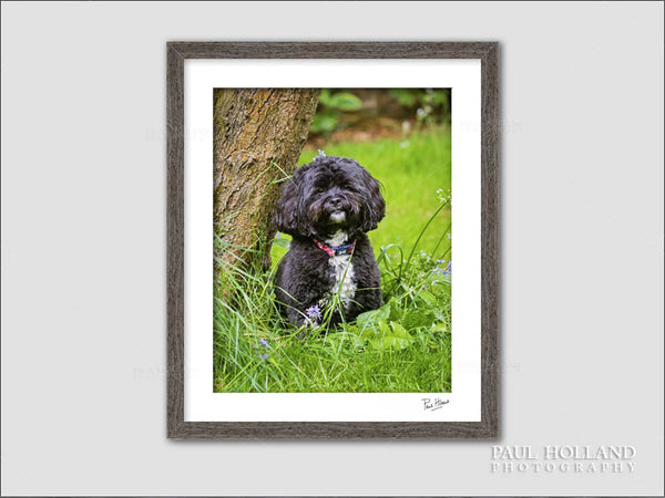 Image showing a framed photograph of Winnie the Shih Poo dog