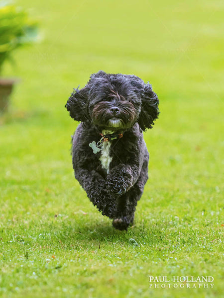 Photograph of Winnie, a Shih Poo dog running in the garden