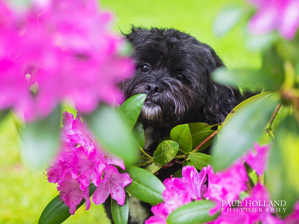Photograph of Winnie, a Shih Poo dog, sitting amongst bright pink flowers