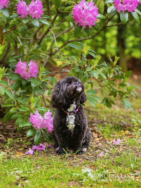 Photograph of Winnie sitting next to a bush of pink flowers