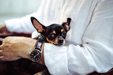 A Chihuahua resting on the arm of its owner.