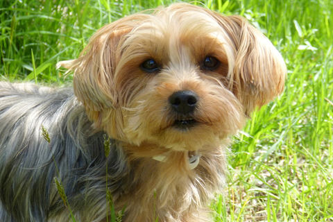 A cute Yorkshire Terrier in the grass.