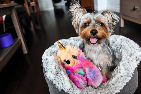 A cute tiny dog relaxing in its bed with its toy.