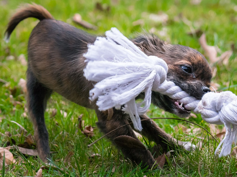 Chihuahua playing with rope pull toy in the grass.