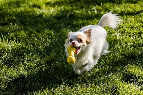 Chihuahua running with a toy