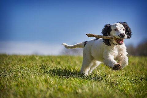 Dog playing fetch in the grass.