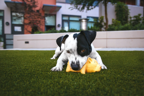 Dog playing with pig shaped squeaky dog toy in the grass.