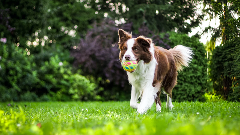 Dog running in grass with ball in its mouth.
