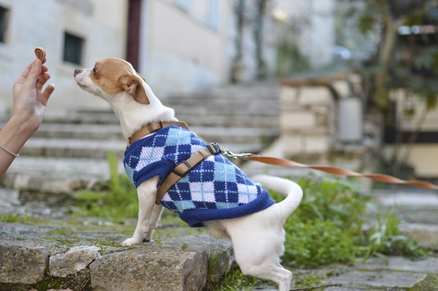 Leashed dog wearing a sweater is presented with a dog treat.