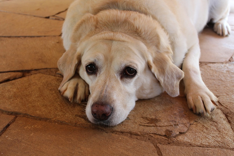 Obese labrador laying on stone floor looking tired.