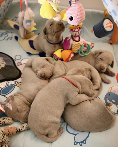 Puppies laying on each other in a crib.
