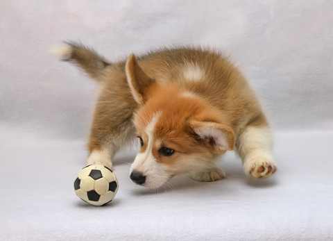 Small dog playing with a soccer ball-like chew toy.