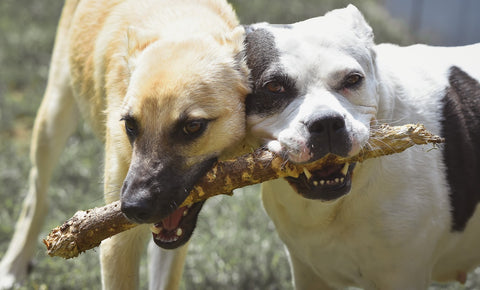 Two dogs chewing a stick.