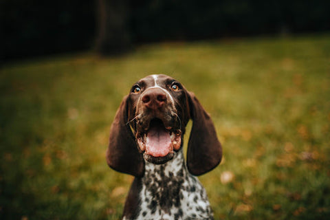 Happy long-eared dog with mouth opened.