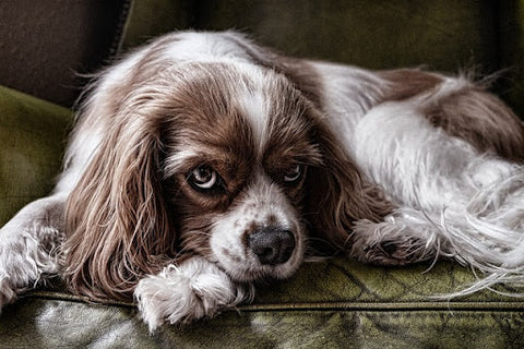 a Spaniel laying on a couch