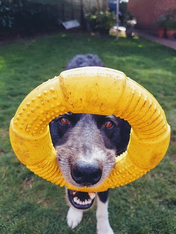 a dog holding a yellow rubber ring in its mouth