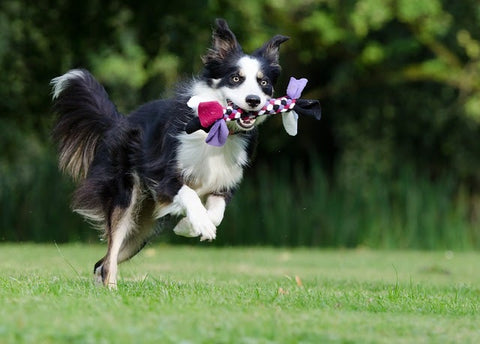 a dog running with a rope toy