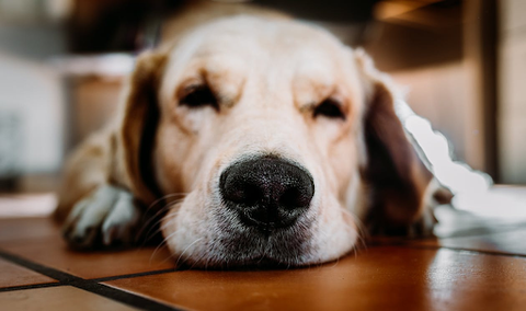 A dog sleepily looking at the camera with its eyes barely open.