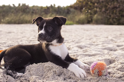 A puppy in the sand with a ball to nibble on.