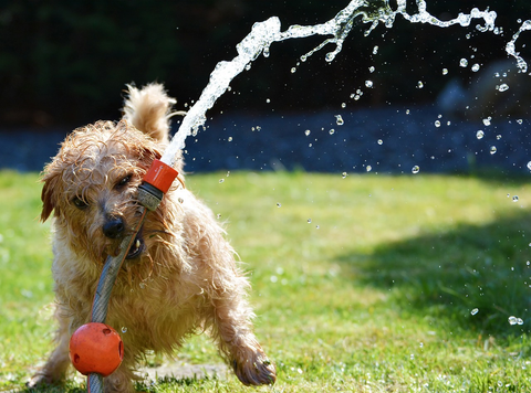 dog playing with hose