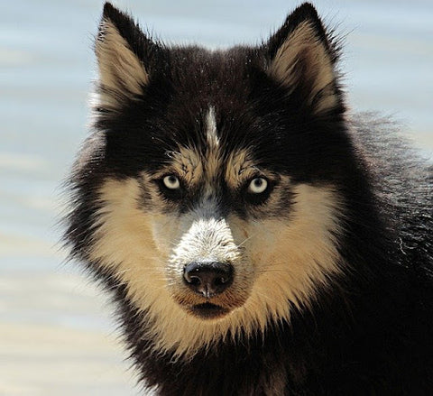 front view of a Husky