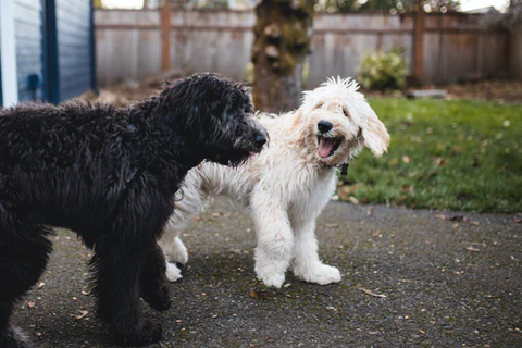 two Doodle dogs walking beside each other