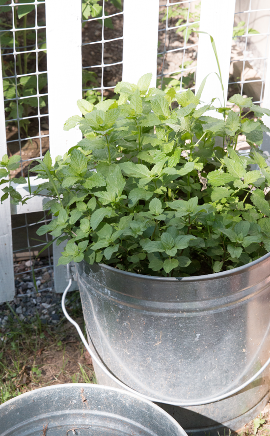 tips-for-planting-mint