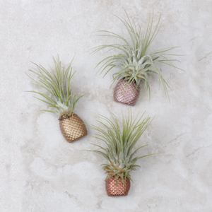 Pineapple Air Plant Magnet